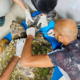 The survivor endangered loggerhead turtle – Abu Dhabi and The National Aquarium teamed up